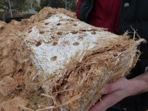 Oyster mycelium inoculated straw.