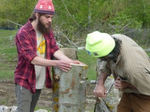 Drilling holes in cottonwood logs to inoculate them with Turkey Tail and Oyster fungi.