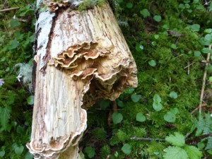 Turkey Tail, a whte rot fungus, decomposing a fallen log in forest